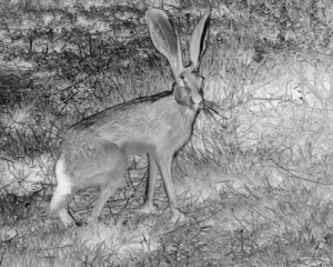 Blacktail Jackrabbit, Lepus californicus